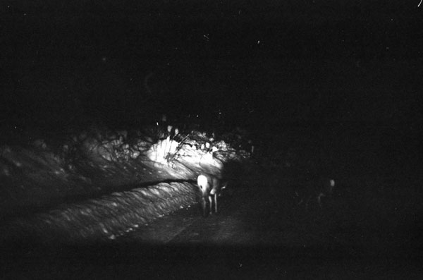 Two deer are illuminated in the head lights of a truck I am sitting in, quite some time ago